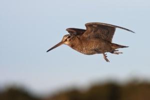 Ireland, the woodcock (Gaelic: Creabhar) is a popular gamebird