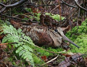 Woodcock at rest